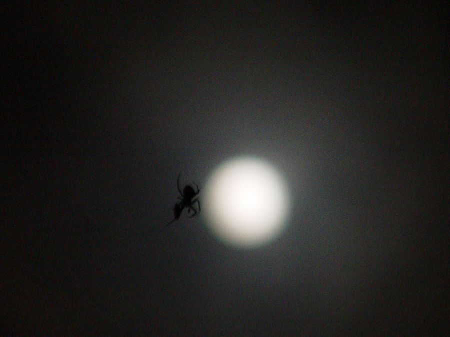Blue Moon Spider